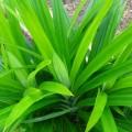daun pandan untuk perawatan rambut